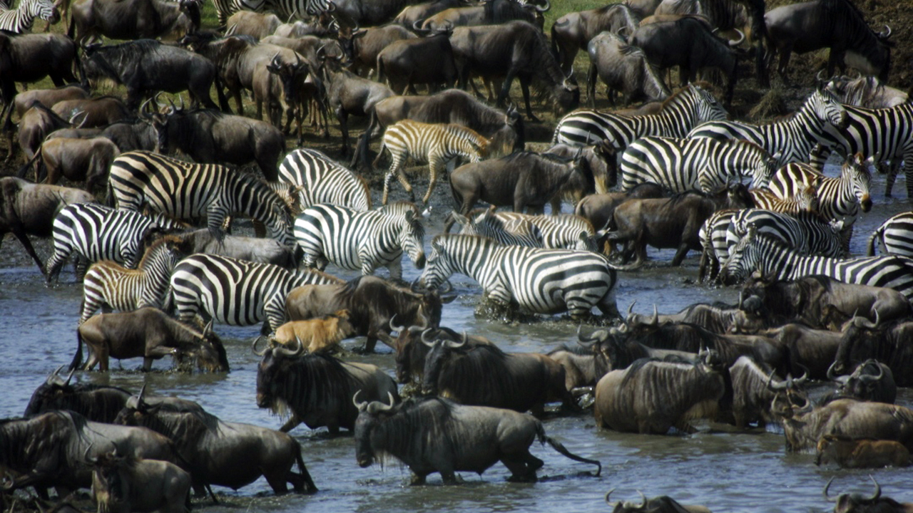 Zebras and wildebeests migrate across the Serengeti